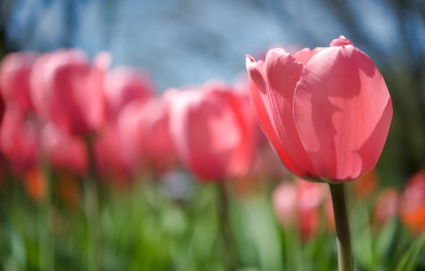 Picture flower, the sun, light, nature, heat, pink, glade, Tulip, spring, stem, Bud