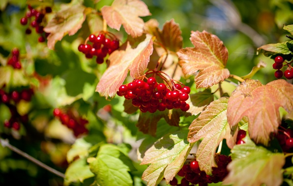 Picture summer, nature, berries, Kalina