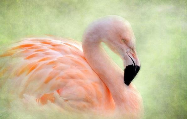 Picture bird, texture, Flamingo