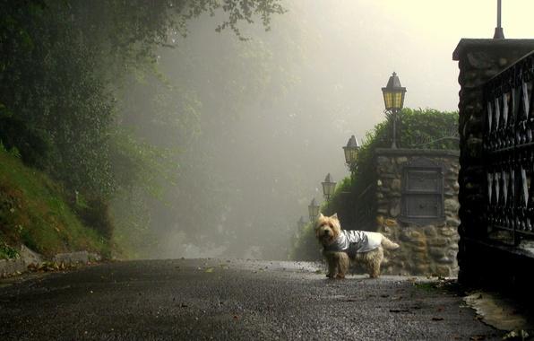Picture road, fog, street, dog, morning, lights, street
