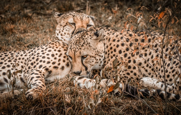 Picture nature, pair, two, Cheetah, cheetahs