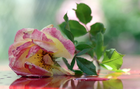 Picture background, pink, rose, tea