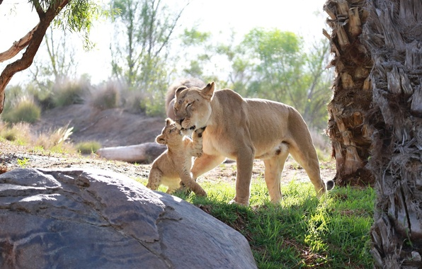 Picture love, the game, predators, baby, family, pair, weasel, cub, kitty, wild cats, lions, lioness, care, …