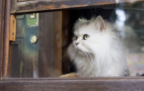Picture cat, look, window, fluffy, white cat