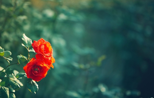 Picture leaves, flowers, red, green, background, widescreen, Wallpaper, blur, leaf, wallpaper, leaves, flowers, widescreen, background, full …