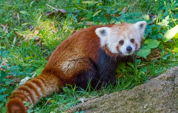 Picture grass, red Panda, firefox, red Panda