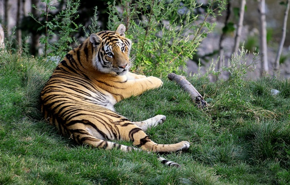 Picture grass, tiger, looks