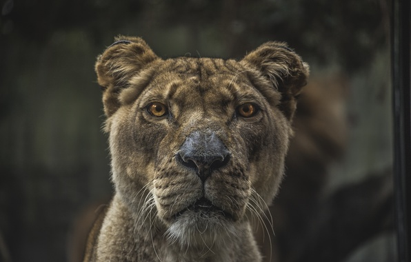 Picture eyes, face, Leo, nose, fur, ears, lioness
