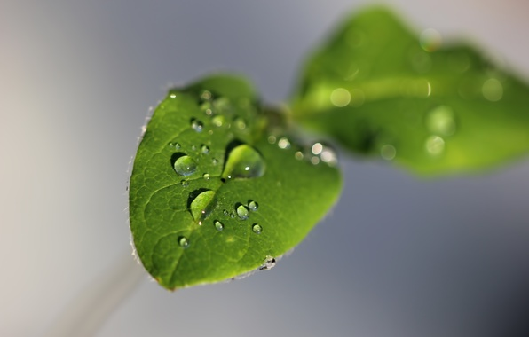 Picture leaves, water, drops, macro, green, grey, background