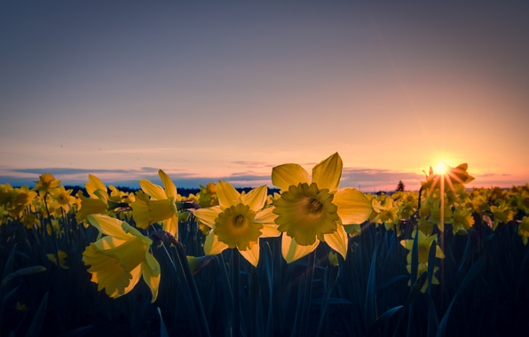 Picture field, the sky, the sun, clouds, rays, sunset, flowers, orange, wire, the evening, yellow, petals, …