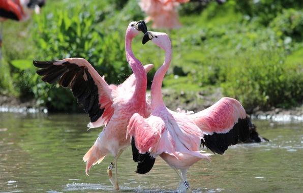 Picture birds, dance, Flamingo