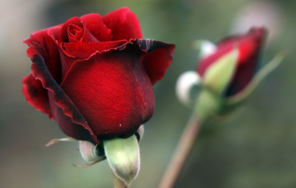 Picture rose, petals, Bud, red