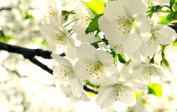 Picture leaves, branch, spring, white, Apple, buds, flowering