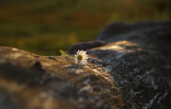 Picture flower, Daisy, white, log, bokeh
