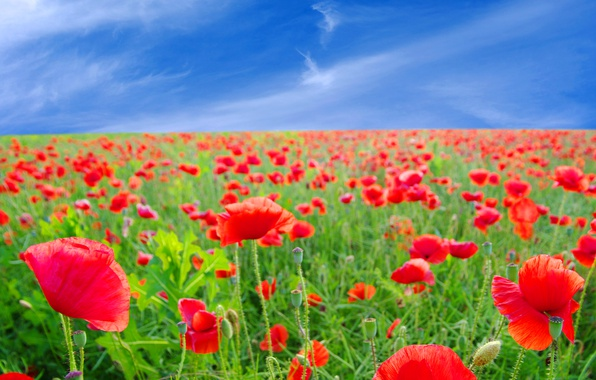 Picture field, summer, the sky, flowers, Maki, red