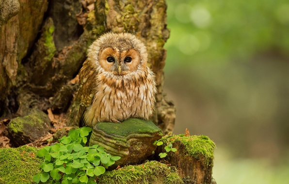 Picture forest, nature, owl, forest, nature, birds, ptenec, owl, Tawny Owl