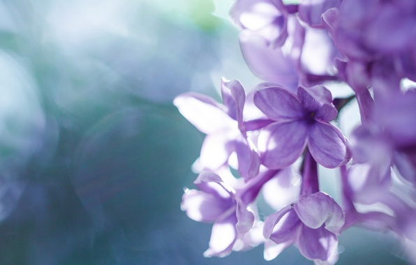 Picture macro, flowers, lilac, inflorescence