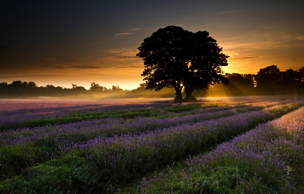 Picture field, trees, landscape, dawn, Nature, lavender