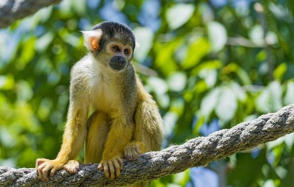 Picture rope, ©Tambako The Jaguar, squirrel monkeys, squirrel monkey