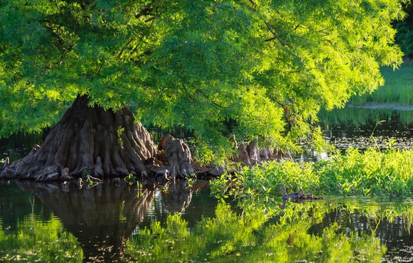 Picture greens, water, nature, pond, tree, green, duck, nature, water, tree, duck, cypress, pound