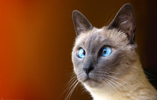 Picture cat, eyes, oblique