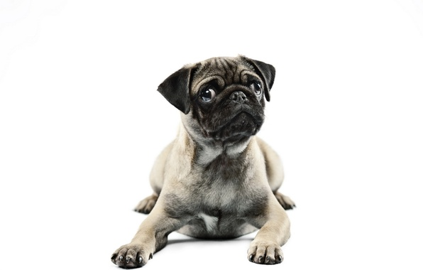 Picture look, dog, pug