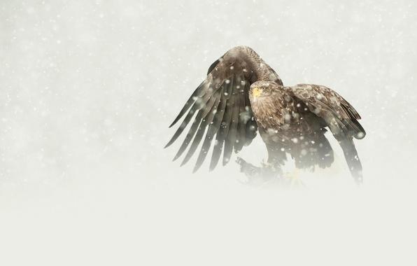 Picture bird, eagle, predator, snowfall, mining, white-tailed