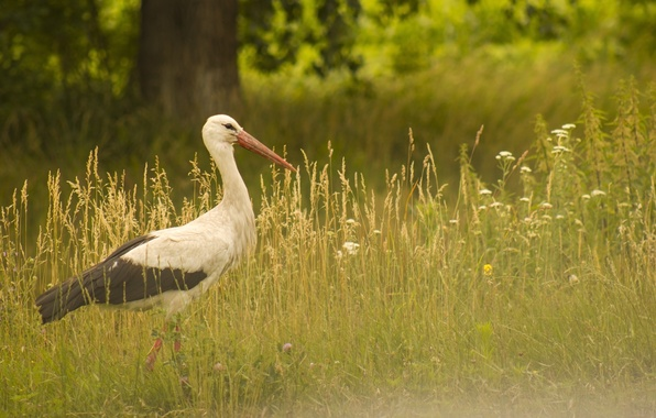 Picture greens, summer, grass, flowers, nature, background, tree, bird, Wallpaper, wings, beak, meadow, stork, saver, is, …