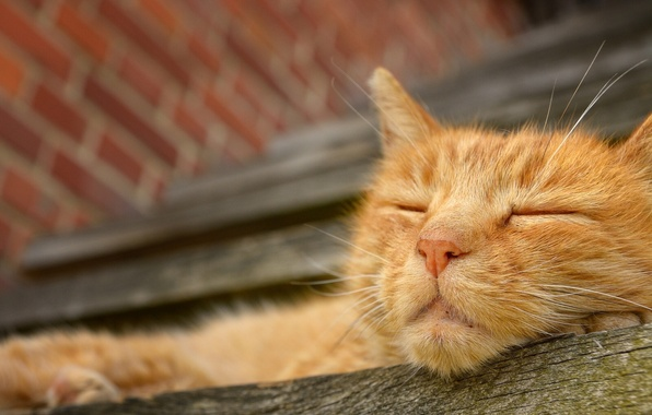 Picture face, stay, sleep, red cat