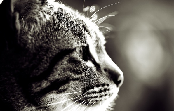 Picture cat, eyes, mustache, macro, photo, background, Wallpaper, wool, muzzle, Sepia, ears, wallpapers