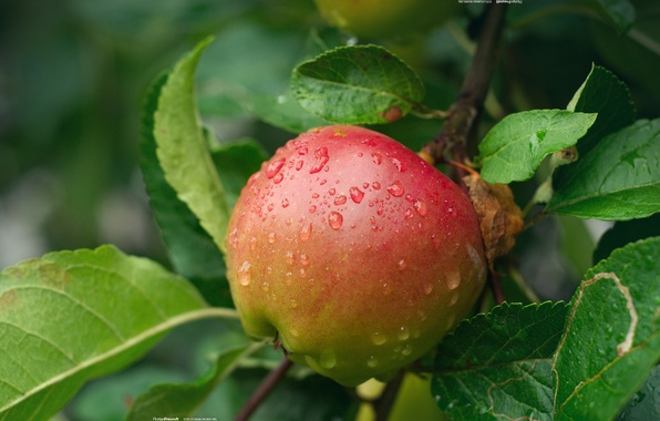 Picture drops, nature, Apple, branch