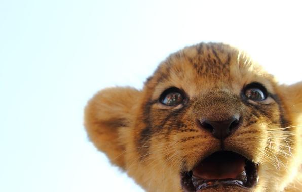 Picture cat, look, muzzle, lion