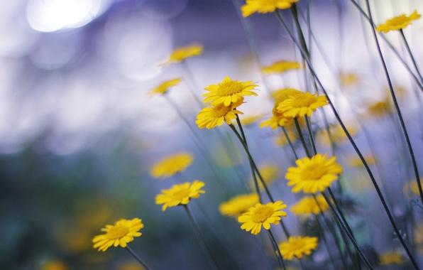 Picture macro, flowers, nature, chamomile, yellow, nature