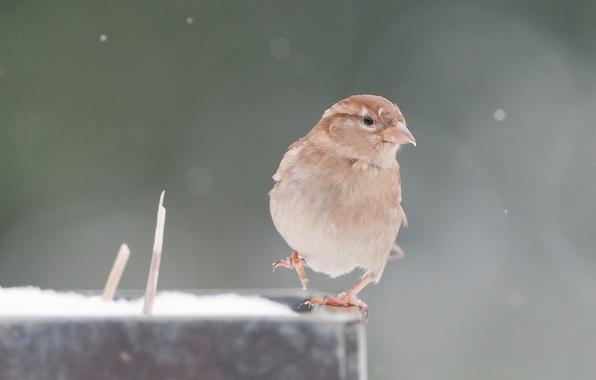 Picture animals, background, bird, Wallpaper, wings, feathers, beak, Sparrow, Peak, look