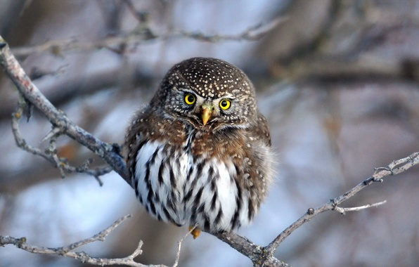 Picture winter, nature, owl