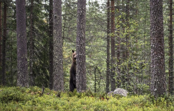Picture forest, nature, bear