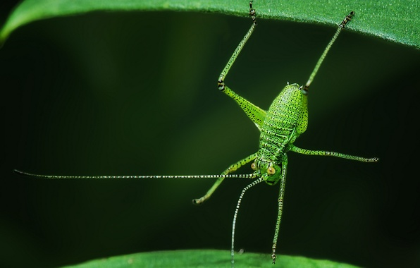 Picture leaves, macro, insect, grasshopper, acrobat, Plastinvest point