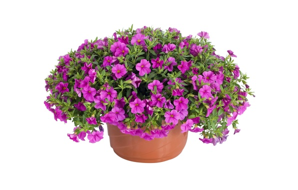 Picture flowers, pot, lilac, petunias, white background