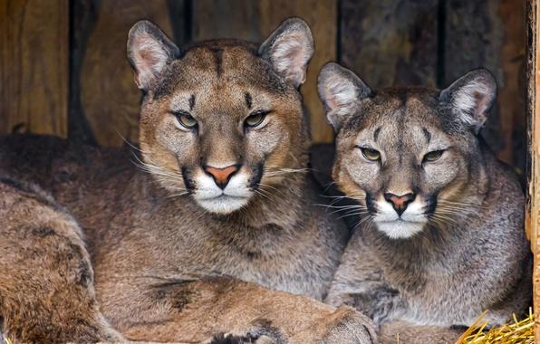 Picture predators, pair, Cougars, pumas