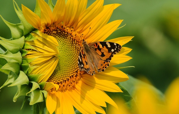 Picture flower, butterfly, sunflower