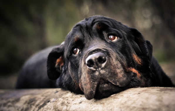 Picture look, face, animal, dog, head, dog, Rottweiler