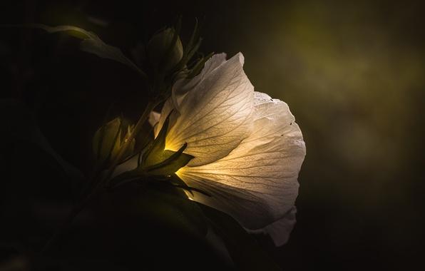 Picture white, flower, light, green, dark, light, rose, white, flower, art, macro, petal, flora, floral, Paul …
