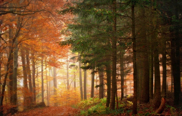 Picture autumn, nature, beauty, morning, Trees, Forest