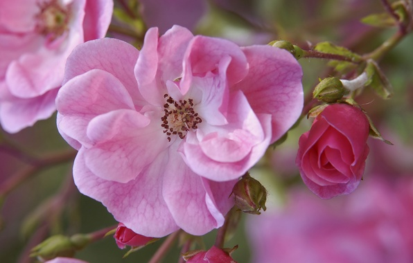 Picture flowers, branch, briar, pink, buds
