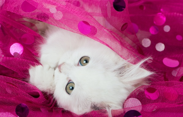 Picture white, look, muzzle, kitty, tulle