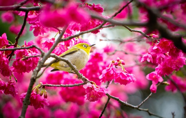 Picture flowers, bird, spring, Sakura