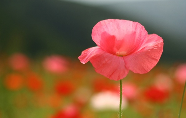 Picture field, flower, summer, macro, pink, glade, Mac, petals