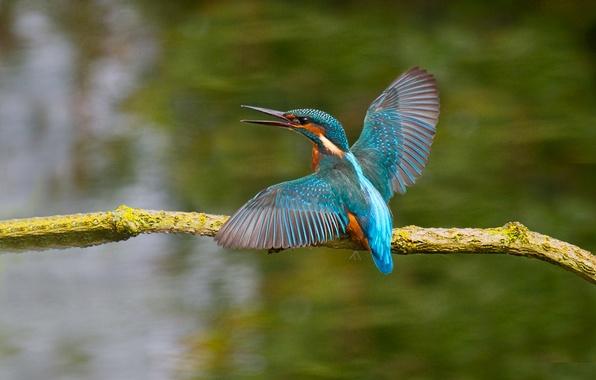 Picture bird, color, wings, branch, beak, Kingfisher