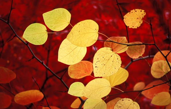 Picture autumn, leaves, red, windows 7, seven