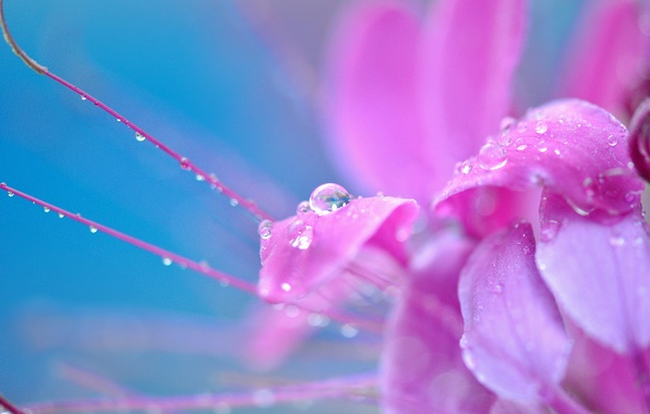 Picture flower, drops, macro, flowers, Rosa, background, pink, widescreen, Wallpaper, drop, wallpaper, widescreen, background, full screen, ...